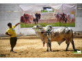 bulls-for-qurbani-small-3