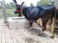 freisian-cow-for-sale-small-1