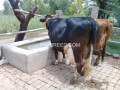 freisian-cow-for-sale-small-0