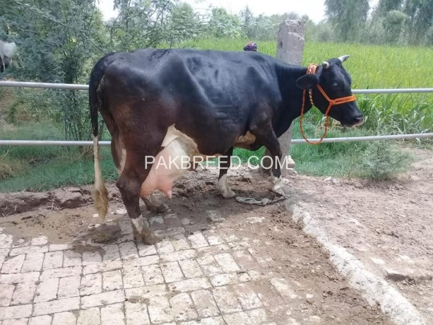 freisian-cow-for-sale-big-2