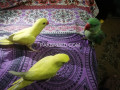 yellow-ringneck-chicks-small-3