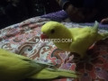 yellow-ringneck-chicks-small-1