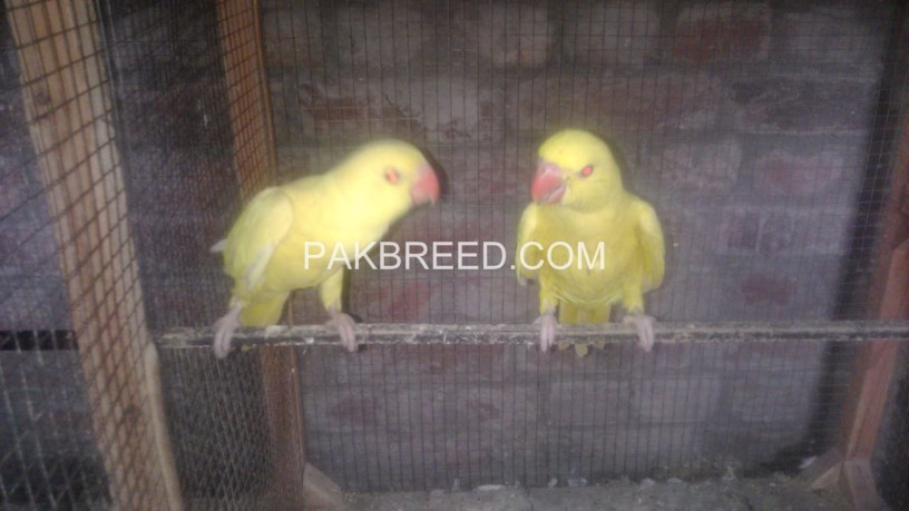 yellow-ringneck-chicks-big-2