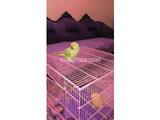 Green Ring Neck Breeder Pair with Cage (Both are Hand Tame)