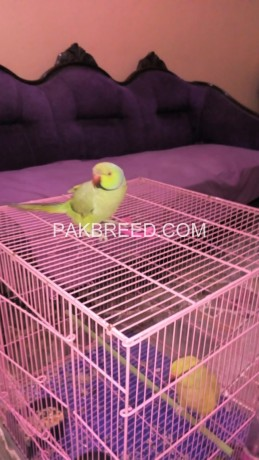 green-ring-neck-breeder-pair-with-cage-both-are-hand-tame-big-0
