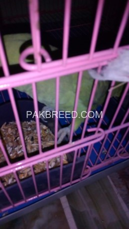 green-ring-neck-breeder-pair-with-cage-both-are-hand-tame-big-1