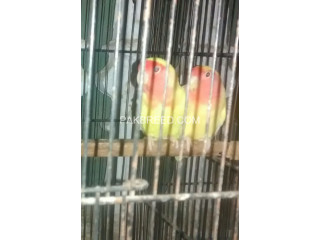 LUTINO Red Eye Breeder Pair