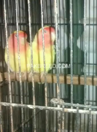 lutino-red-eye-breeder-pair-big-3