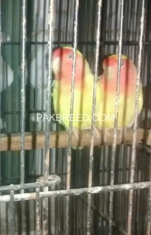 lutino-red-eye-breeder-pair-big-2