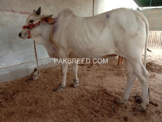 Qurbani k liye Do Dant Bachray For Sale.