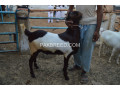 heavy-goats-for-sale-small-1