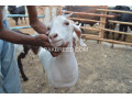 heavy-goats-for-sale-small-2