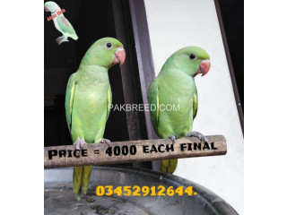 Green Ringneck Self Baby available