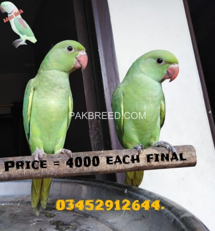 green-ringneck-self-baby-available-big-0