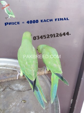 green-ringneck-self-baby-available-big-1