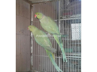 Green Ringneck Confirmed Breeder Pair available