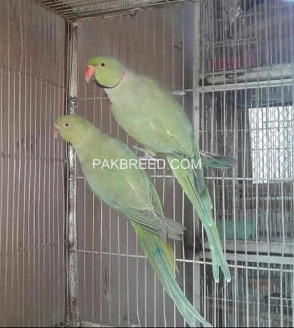 green-ringneck-confirmed-breeder-pair-available-big-0