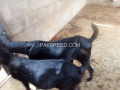 two-beetel-goats-faisalabad-small-1