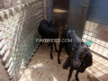 two-beetel-goats-faisalabad-small-4