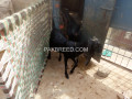 two-beetel-goats-faisalabad-small-2