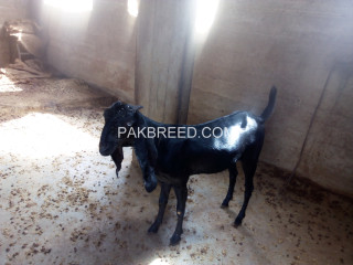 Two beetel goats Faisalabad
