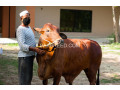 cattle-for-sale-small-2