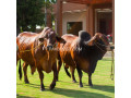 cattle-for-sale-small-0