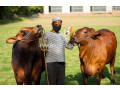 cattle-for-sale-small-3