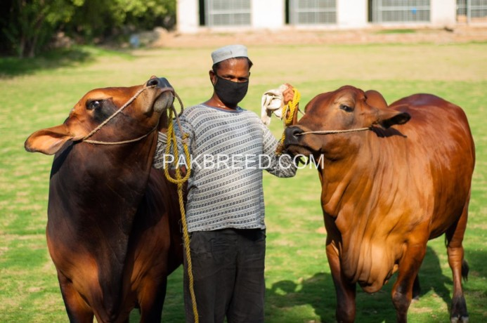 cattle-for-sale-big-3