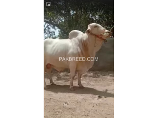 Cholistani White Nukra For sale