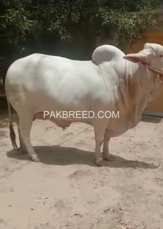 cholistani-white-nukra-for-sale-big-2