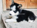husky-puppies-woolly-coat-small-2