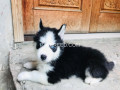husky-puppies-woolly-coat-small-1