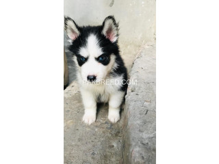 Husky puppies (woolly coat)
