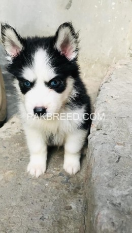 husky-puppies-woolly-coat-big-0