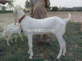 pure-white-dasi-bakra-small-2