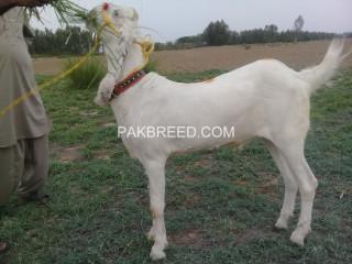 Pure white dasi bakra