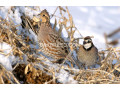 bobwhite-quail-young-pairs-small-0