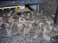 bobwhite-quail-young-pairs-small-1