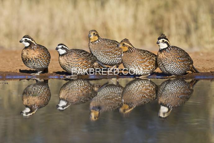 bobwhite-quail-young-pairs-big-2