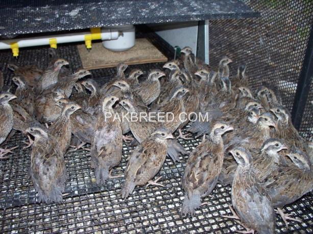 bobwhite-quail-young-pairs-big-1
