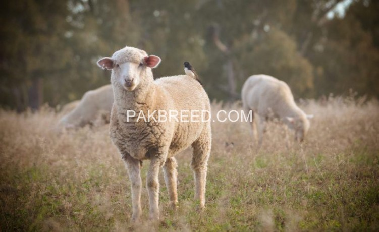 qubni-k-liyee-kjla-sheep-big-1