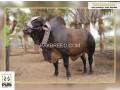 heavy-weigt-brahman-bulls-small-3