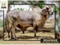 heavy-weigt-brahman-bulls-small-2