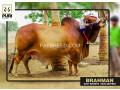 puri-cattle-farm-small-4