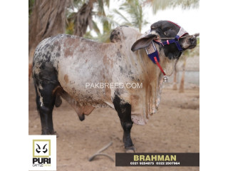 PURI CATTLE FARM