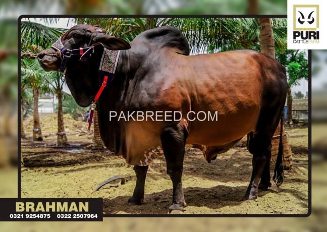 puri-cattle-farm-big-3