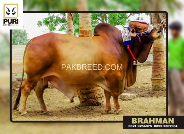 puri-cattle-farm-big-4