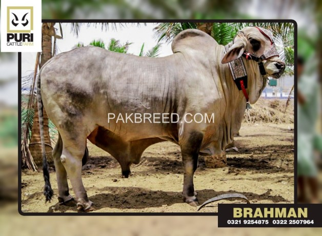puri-cattle-farm-big-1