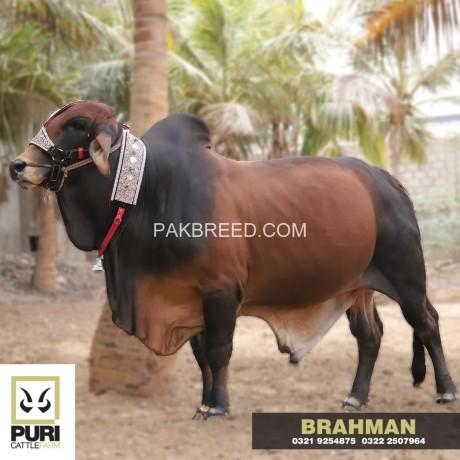 puri-cattle-farm-big-2